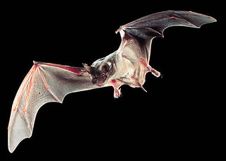 Mexican Free-tailed Bat. Image Credit: Ron Groves, Public Domain. http://eol.org/data_objects/13144883   by EOL Learning and Education Group