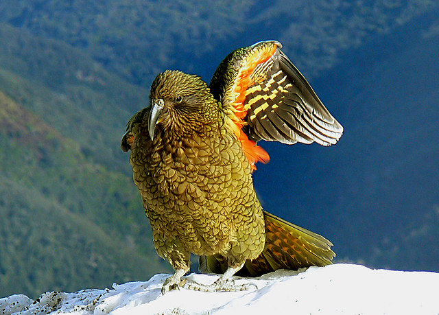 Kea wing.New Zealand.