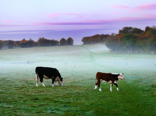 autumn sunset england mist fall field fog dawn october day cattle hampshire common hereford 2009 types basingstoke oldbasing basing loddonvalley radiationfog dawnmist basingstokecommon typesa blackhereford