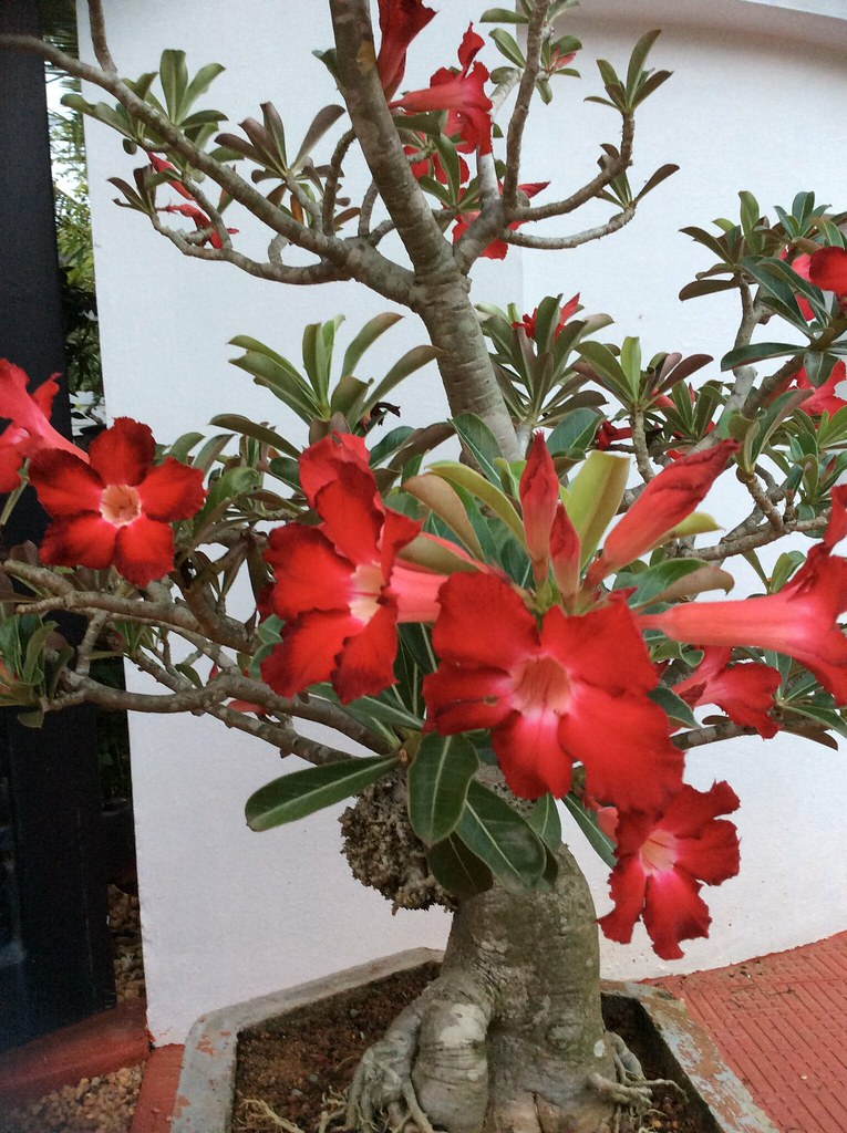 Adenium bonsai from our collection. This plant is about twenty years old. -
