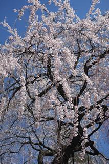 サクラ Cherry   by lulun & kame