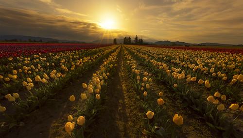 landscape surise flowers tulips skagitvalley tulipfestival