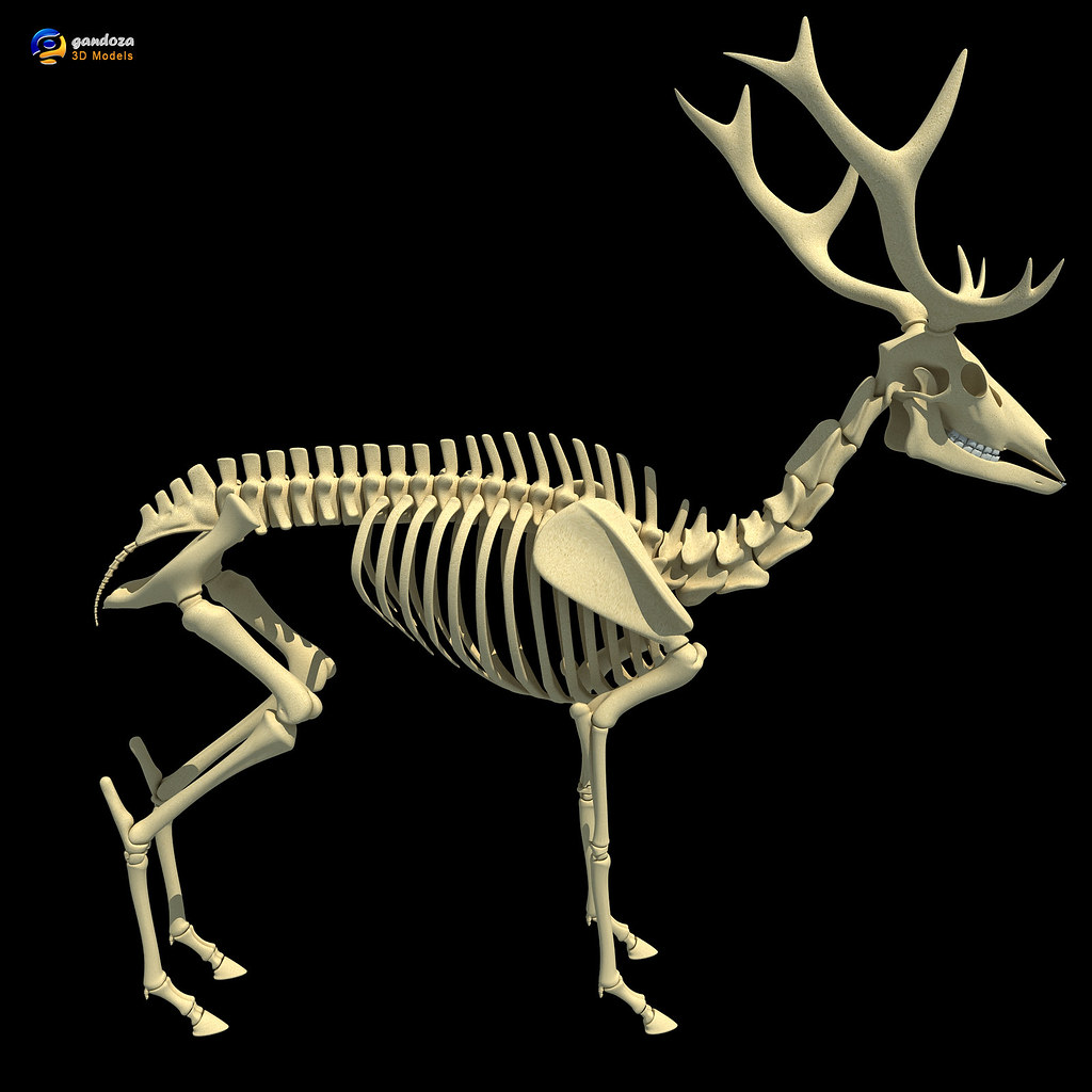 Deer Skeletons | 3d model of deer skeleton  | 3D Horse | Flickr