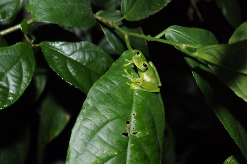 Emerald Glass Frog (Centrolenella prosoblepon) | by Sky and Yak