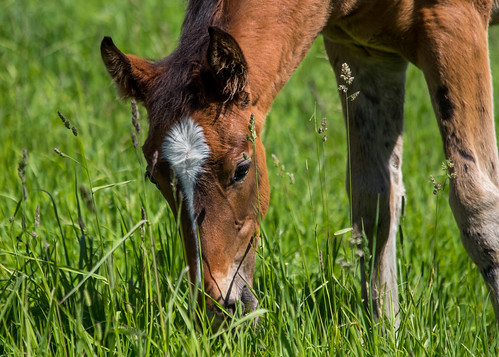 Spruce Meadows Foal | by Heidi Schuyt