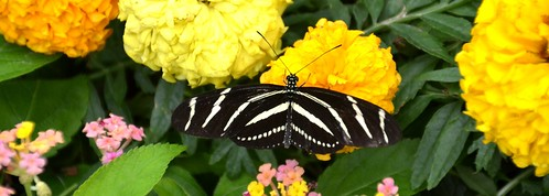 flowers white black nature butterfly insect stripes blossoms blooms mariposa marigolds schmetterling zebralongwing krohnconservatory farfalle longwing supershot butterfliesofmorocco 2013butterflyshow jennypansing