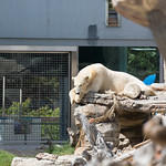 Polar Bear, San Diego Zoo