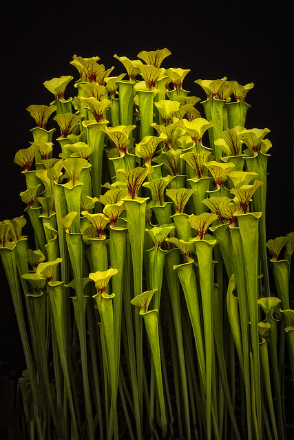 Sarracenia flava - Pitcher Plant