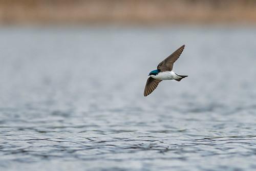treeswallow johnheinznwr wildlife nature bird heinz water swallow bif sharonhill pennsylvania unitedstates us nikon d800e
