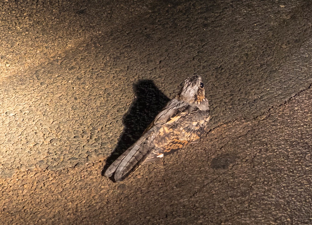 Nightjar in Entabeni, South Africa