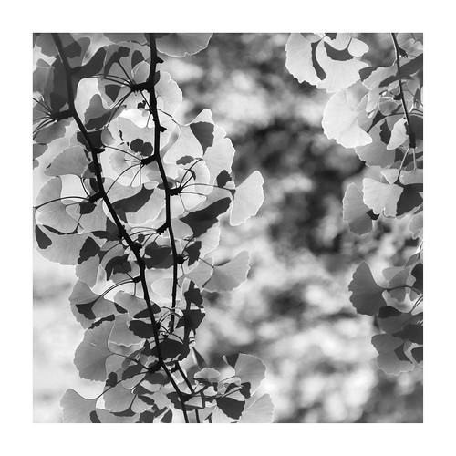 phunnyfotos australia victoria vic dandenongranges dandenongs thedandenongs parksvic park garden landscaping tree mono bw monotone leaves foliage light border nikon d750 nikond750 square ginkgo ginkgobiloba maidenhairtree autumn fff