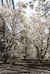 White Magnolia Wood