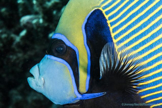 Emperor Angelfish, Pomacanthus imperator, Hurgada, Red Sea