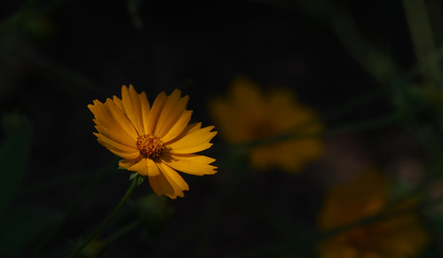 pentax k3 vbd smcpentaxda55300mmf458ed ct connecticut flower newengland yellow 2016 summer2016 handheld manualfocus trumbull oldminepark coreopsis coreopsislanceolata