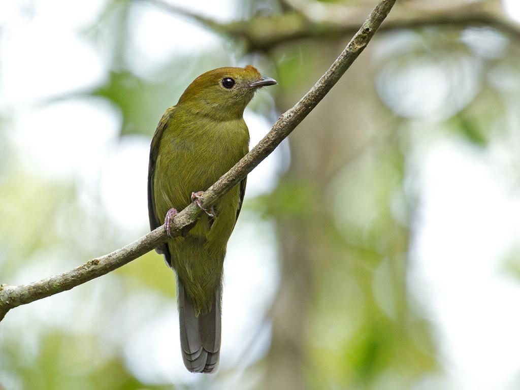 Helmeted Manakin (Antilophia galeata) - juvenile