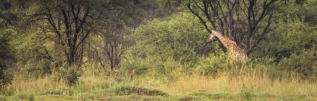 Giraffe in Entabeni, South Africa