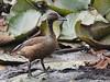 Lesser Whistling Duck by SivamDesign