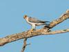 Grey Falcon (Falco hypoleucos) by David Cook Wildlife Photography