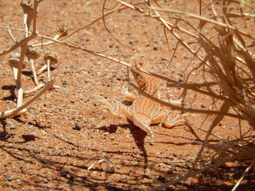 Sossusvlei - zandhagedis