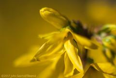Flower of Forsythia