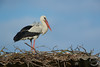 Weißstorch - White stork - Ciconia ciconia by Andreas Gruber