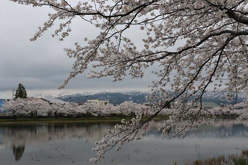 高田公園 観桜会 上越市 新潟 park jyoetsu niigata japan cherryblossom flower spring