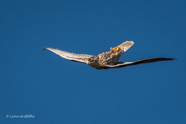 Saker Falcon - Dive, dive, dive D50_5474.jpg