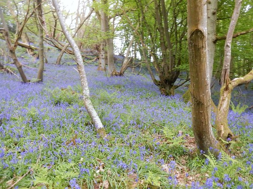bluebells Hever to Ashurst You could starch a lot of collars with this lot.