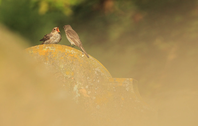 Adult Spotted Flycatcher Feeding It's Young
