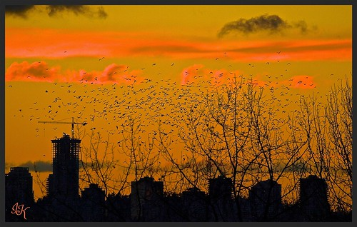 city trees sunset sky clouds skies silhouettes sunsets streaks crows sunsetclouds beautifulnature wonderfulnature beautifulskies treesilhouettes beautifulsunsets sunsetskies wonderfulskies citysilhouette redsunsets allsunsets roostingcrows cityoutlines sunsetoutlines streakedskies swarmsofcrows