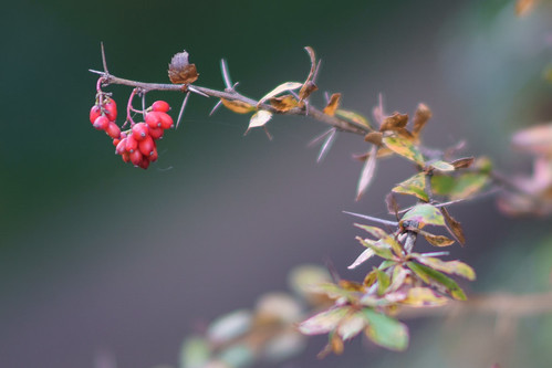 Barberry | by spinningarrow_
