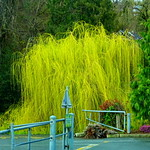 Weeping willow tree in all of its spring glory
