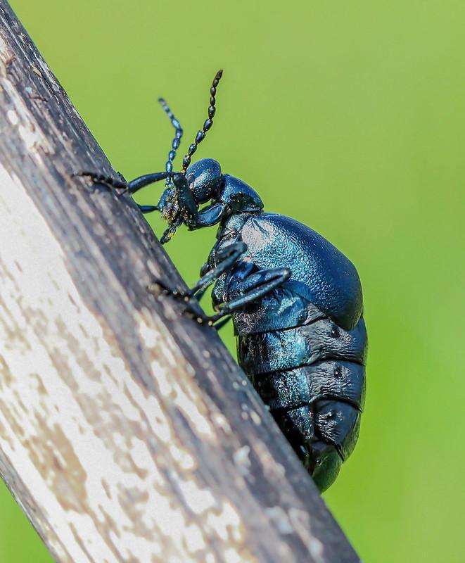 Violet-oil-beetle Meloe violaceus