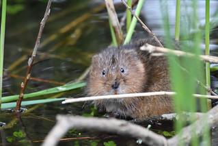 Water Vole | by markhows