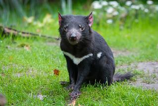 Tasmanian Devil   by Mathias Appel