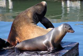 San Francisco: Pier 39 sea lions