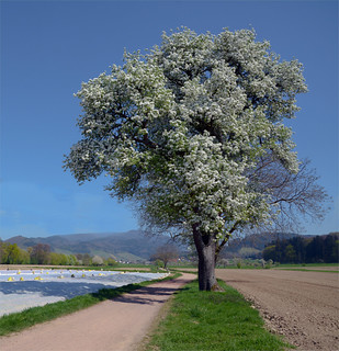 The old pear is blooming | by El2deepblue*
