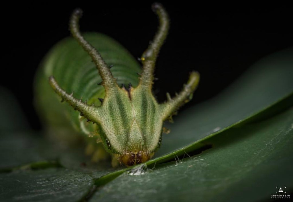 Common known in singapore as dragon head caterpillar! It is the caterpillar of the Plain Nawab buttlefly (polyura heba plantus)