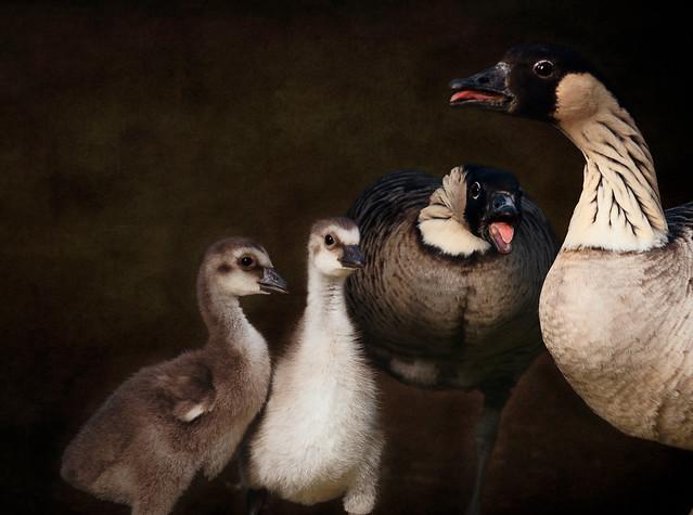 'Hawaiian Goose Family'