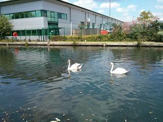 swan family | by andyaldridge