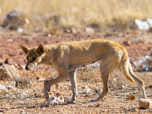 Dingo (Canis lupus dingo) | by David Cook Wildlife Photography