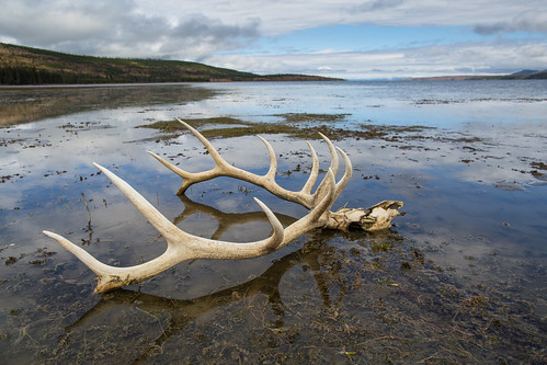 Elk skull, Yellowstone Lake