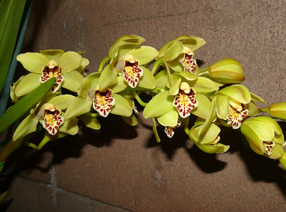 photographed at the 2017 pacific orchid & garden exposition, Cymbidium hybrid orchid | by nolehace