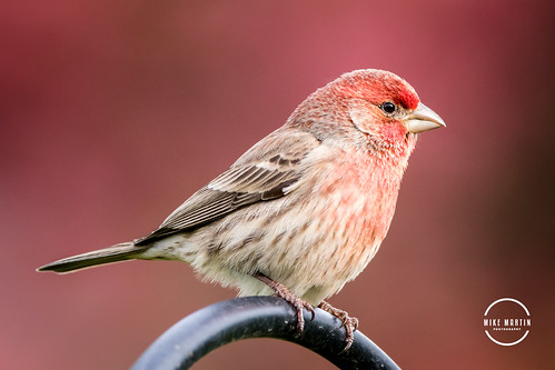 Rose Finch | by Mike M Martin