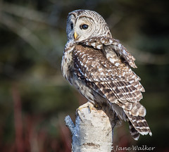 Barred Owl on Birch Stump