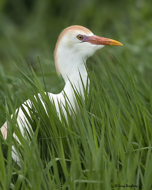 A cattle egret watching out for intruding males!  :-).......D800