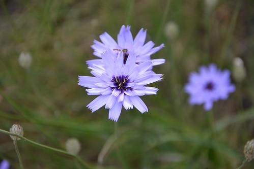 Catananche caerulea - catananche bleue  9206469207_aaafc8ed78