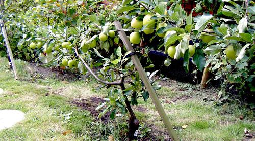 Apple - Falstaff