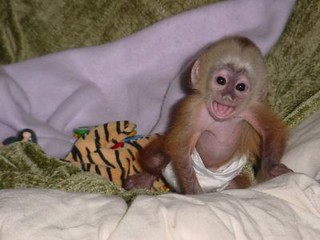 pet-capuchin-monkey | by epheterson