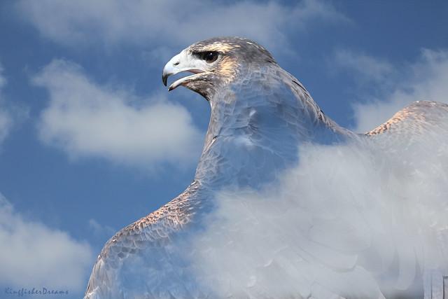 Buzzard-Eagle (Geranoaetus Melanoleucus) - Sky Background